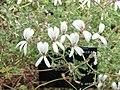 剌天竺葵 Pelargonium echinatum -倫敦植物園 Kew Gardens, London- (9227080465).jpg