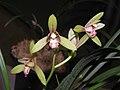 四季山蘭 Cymbidium ensifolium -香港沙田國蘭展 Shatin Orchid Show, Hong Kong- (12147146243).jpg