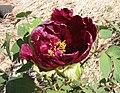 日本牡丹-黑龍錦 Paeonia suffruticosa Kokuryu-nishiki -日本大阪長居植物園 Osaka Nagai Botanical Garden, Japan- (41663526844).jpg