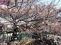 渋川・元住吉駅交差点・住吉ざくら - panoramio.jpg
