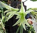 花朱頂紅 Hippeastrum vittatum -香港花展 Hong Kong Flower Show- (13219730214).jpg