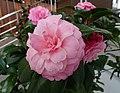 茶梅山茶雲茶雜交-里德利 Camellia (japonica x (Sasanqua x Reticulata)) Betty Ridley -深圳園博園茶花展 Shenzhen Camellia Show, China- (9255191824).jpg
