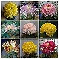 菊花 Chrysanthemum morifolium Cultivars 2 -上海松江方塔園 Song Jiang, Shanghai- (11961609984).jpg