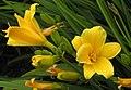 萱草 Hemerocallis Stella de Oro -英格蘭 Wisley Gardens, England- (9216083836).jpg