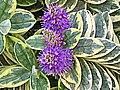 長階花屬 Hebe x franciscana v variegata -英格蘭 York, England- (9198101703).jpg