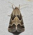 -11135 – Schinia rivulosa – Ragweed Flower Moth (43867717932).jpg
