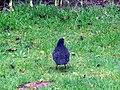 -2019-01-10 Male blackbird (Turdus merula), Trimingham, Norfolk (3).JPG