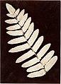 -Botanical Specimen- Fern- MET DP147833.jpg