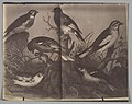-Spread from an Ornithological Book- MET DP367940.jpg