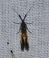 - 1388 – Coleophora trifolii – Large Clover Casebearer Moth? (otherwise, Coleophora species) (14167828429).jpg