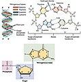 0322 DNA Nucleotides Numbered.jpg