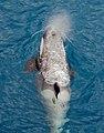 091201 south georgia orca 5346 (4173392434).jpg