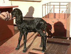 Karakulská ovce – Wikipedie 4804ef0c05