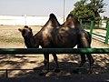 14.Двогорбий верблюд (11).jpg