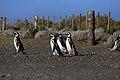 146 - Cap Virgenes - Manchot de Magellan - Janvier 2010.JPG