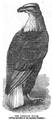1862 eagle Aquarial and ZoologicalGardens Boston Ballous.png