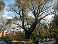 Eiche-Stieleiche (Quercus robur)