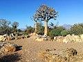 1 Karoo Desert National Botanical Gardens - quiver trees.jpg