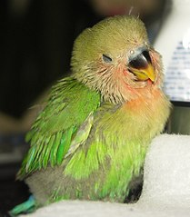 Peach-faced Lovebird chick