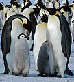 2007 Snow-Hill-Island Luyten-De-Hauwere-Emperor-Penguin-06.jpg