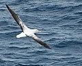 2007 Snow-Hill-Island Luyten-De-Hauwere-Wandering-Albatross-04.jpg