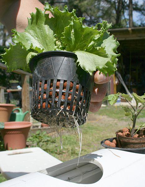 File:2009-03-30 Lettuce roots.jpg