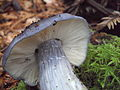 2009-11-21 Entoloma bloxamii 1 28594.jpg