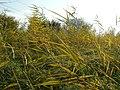 20111101Phragmites australis03.jpg