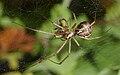 2012.10.20-18-Mannheim Vogelstang--Baldachinspinne-Linyphia Triangularis-Weibchen.jpg