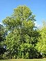 20120914Populus x canadensis2.jpg