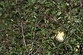 20130913 095 Kessel Weerdbeemden Spotvogel (9738141786).jpg
