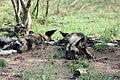 2014-11-23 045 African Wild Dog Lycaon pictus anagoria.JPG