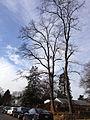 2014-12-30 11 44 19 Black Locusts along Palmer Lane in Ewing, New Jersey.JPG