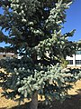 2015-03-27 15 52 16 Closeup of a Blue Spruce at Great Basin College in Elko, Nevada.JPG