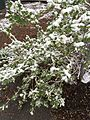 2015-04-08 07 35 18 A wet spring snow on a bush along South 7th Street in Elko, Nevada.jpg