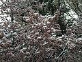 2015-04-08 07 55 27 A wet spring snow on Purple-leaf Plum blossoms along Pine Street in Elko, Nevada.jpg