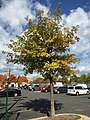 2015-10-14 10 41 08 Oak changing color in autumn along Metrotech Drive in Chantilly, Virginia.jpg