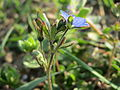 20150320Veronica triphyllos12.jpg