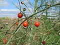 20150927Asparagus officinalis2.jpg