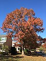 2016-11-18 11 47 29 Red Oak displaying autumn foliage along Dairy Lou Drive at Dairy Lou Court in the Franklin Farm section of Oak Hill, Fairfax County, Virginia.jpg