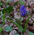 2016.03.19.-06-Waldpark Mannheim Neckarau--Zweiblaettriger Blaustern.jpg