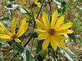20160727Helianthus tuberosus3.jpg