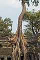 2016 Angkor, Ta Prohm (20).jpg