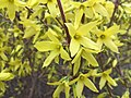 2017-02-28 15 17 48 Forsythia blossoms at the intersection of Franklin Farm Road and Stone Heather Drive in the Franklin Farm section of Oak Hill, Fairfax County, Virginia.jpg