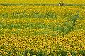 2017-07-15 Ono-himawarino-oka-park (小野市立ひまわりの丘公園) 6284☆彡.jpg
