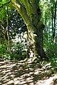 2017-10-01 ND Rotbuche im Park Bodelschwingh 02.jpg