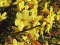20170224Jasminum nudiflorum1.jpg