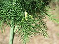 20170819Asparagus officinalis1.jpg