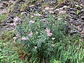 2018-08-11 (161) Plants at Tirolerkogel, Annaberg, Austria.jpg