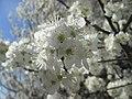 20190319 Prunus cerasifera 6.jpg